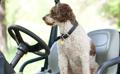 Dog in the Driver's Seat on a Golf Cart on a Farm